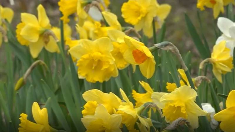 The Belfast Daffodil Project started in 2018.