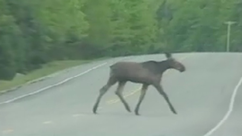 The moose hunt begins Monday in limited parts of Maine.