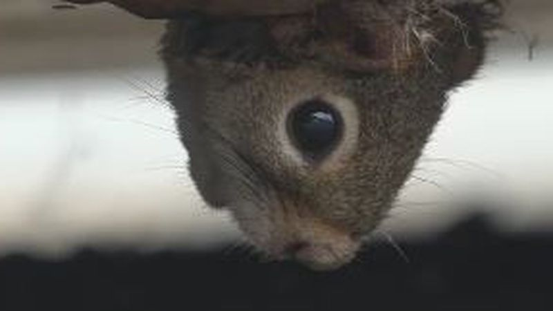 A squirrel is rescued after she got her head stuck in a drainage hole in a dumpster in the TV5...