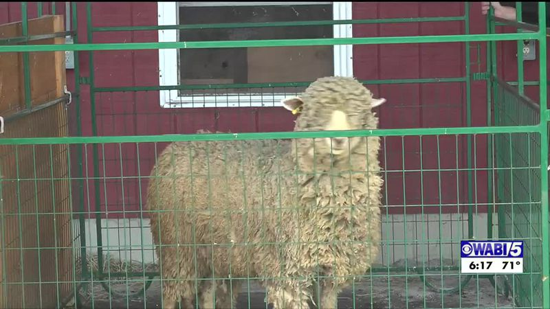 Sheep shearing contest raises money for cancer.