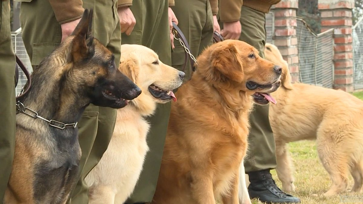 Some countries are exploring the possibility of using those types of dogs as a rapid, reliable,...