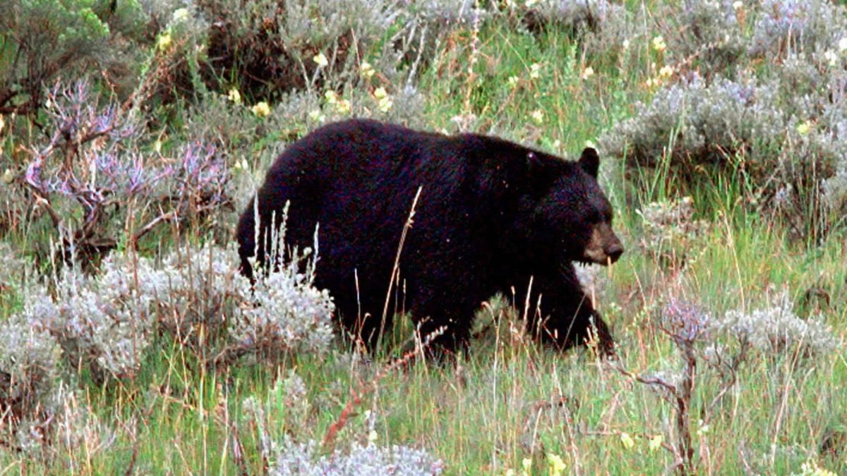 FILE--A black bear looks for food in the sagebrush near a main road in Yellowstone National...