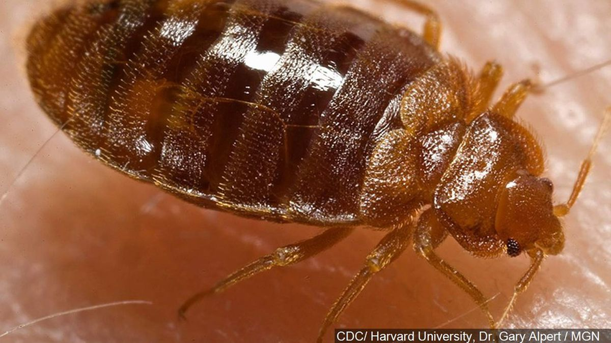 Generic photo of bed bug.