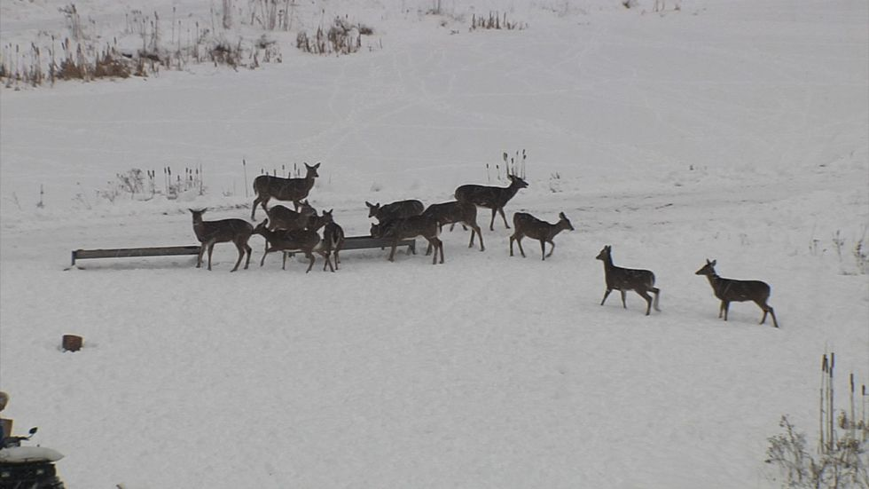 Brownville's Food Pantry for Deer Draws Hundreds of Deer