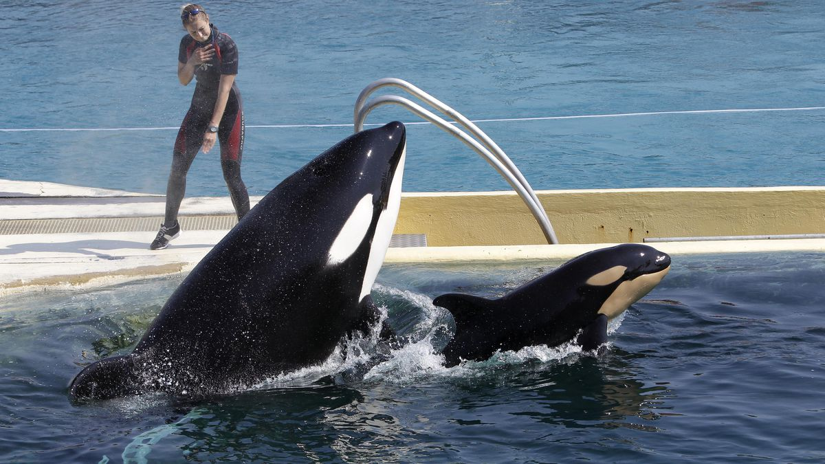 """FILE - In this April 18, 2011 file photo, killer whale """"Wikie"""", jumps with its baby, a female born one month ago at the Marineland aquatic park in Antibes, southeastern France. France's environment minister Barbara Pompili announced Tuesday Sept.29, 2020 a gradual ban in the coming years on the use of wild animals in travelling circuses and on keeping in captivity dolphins and killer whales."""