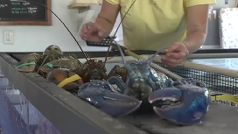 A rare blue lobster was found recently off the coast of Bar Harbor.