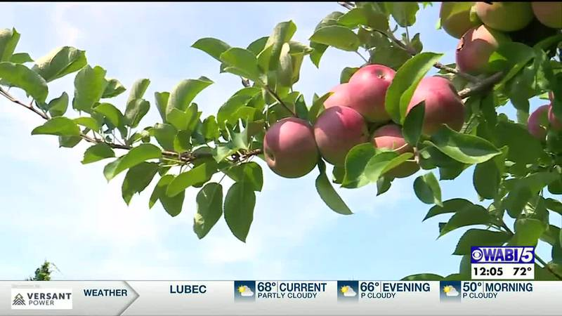 THIS WEEKEND MARKED THE START OF *PEAK APPLE HARVESt with MAINE APPLE SUNDAY.