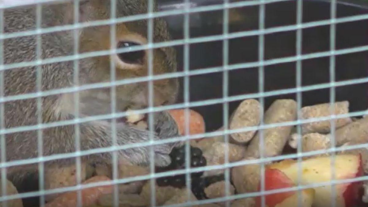 Maine animal rehabilitators need help.